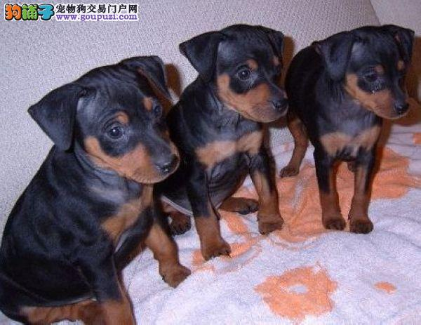嘉定售纯种杜宾犬 笃宾犬签协议欢迎参观选购