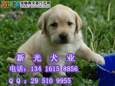 拉布拉多猎犬价格纯种拉多广州拉布拉多犬 高清图片