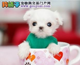 韩系纯种繁殖茶杯犬幼犬多只上门选购低价有惊喜2