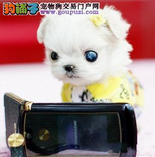 上海哪卖健康茶杯犬日本袖珍狗.上海纯种茶杯犬多少钱4