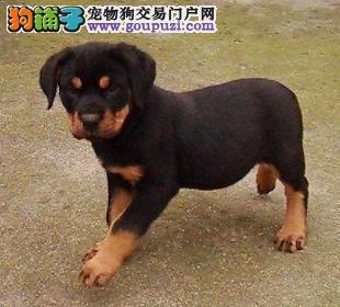 正规犬舍繁殖 赛级品质 纯种罗威纳幼犬出售