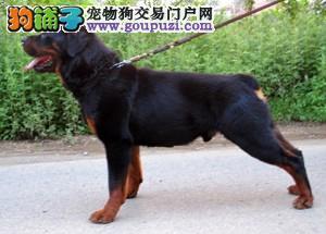 权威机构认证犬舍 专业培育罗威纳幼犬武汉地区可包邮