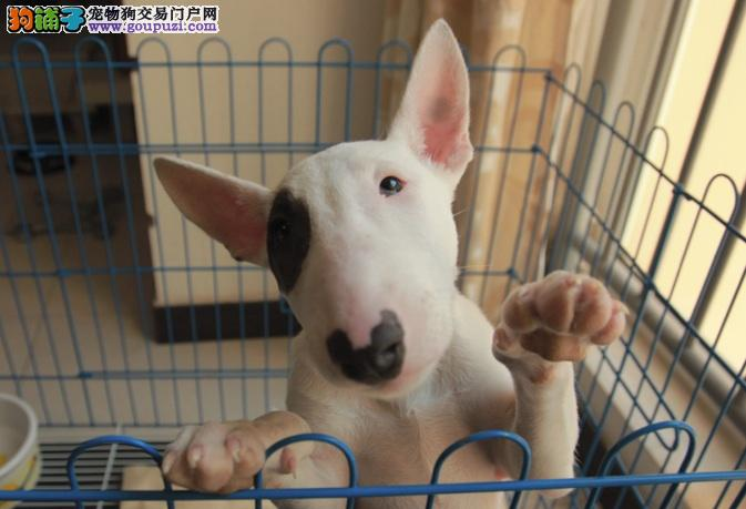 太原市高品质牛头梗幼犬出售 疫苗做完 包纯种健康