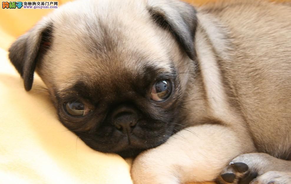 CKU认证犬业专业繁殖巴哥宝宝—绝对信誉