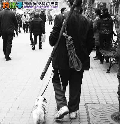 西安禁养34种犬,松狮犬、阿拉斯加等列入禁养犬名单