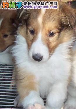 实体店低价促销赛级苏牧幼犬质保三年支持送货上门