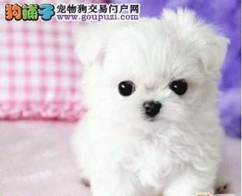 广州哪里有茶杯买,茶杯犬多少钱一只哪里有1