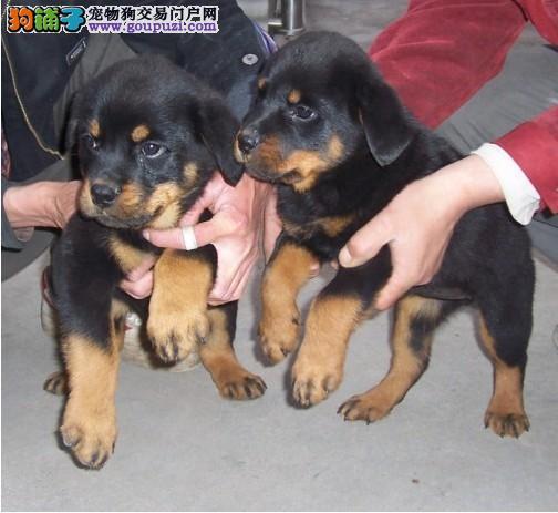 专业的罗威纳犬舍终身保健康爱狗人士优先狗贩勿扰
