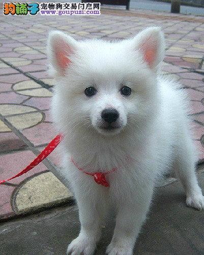 出售纯种银狐犬幼犬 包健康纯种 可上门选购 协议保障