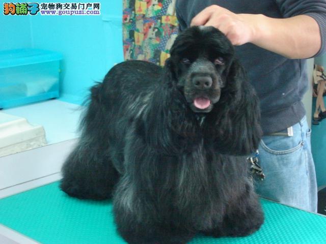 佳缘犬业出售纯种英国可卡犬(包品质健康)