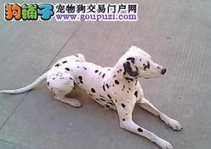 南京哪里有卖斑点狗、斑点狗出售、纯种斑点狗