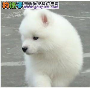 实体店热卖银狐犬颜色齐全欢迎爱狗人士上门选购