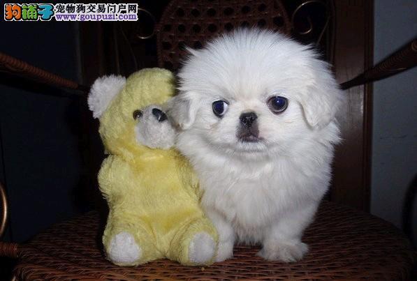 小短腿京巴犬幼犬北京狗北京犬白色大眼睛公母都有多只4