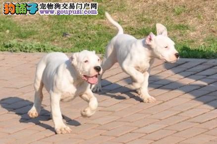 家养赛级杜高犬宝宝品质纯正国外引进假一赔百2
