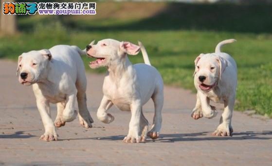 辽阳售杜高犬幼犬 三针齐公母全阿根廷杜高犬幼犬