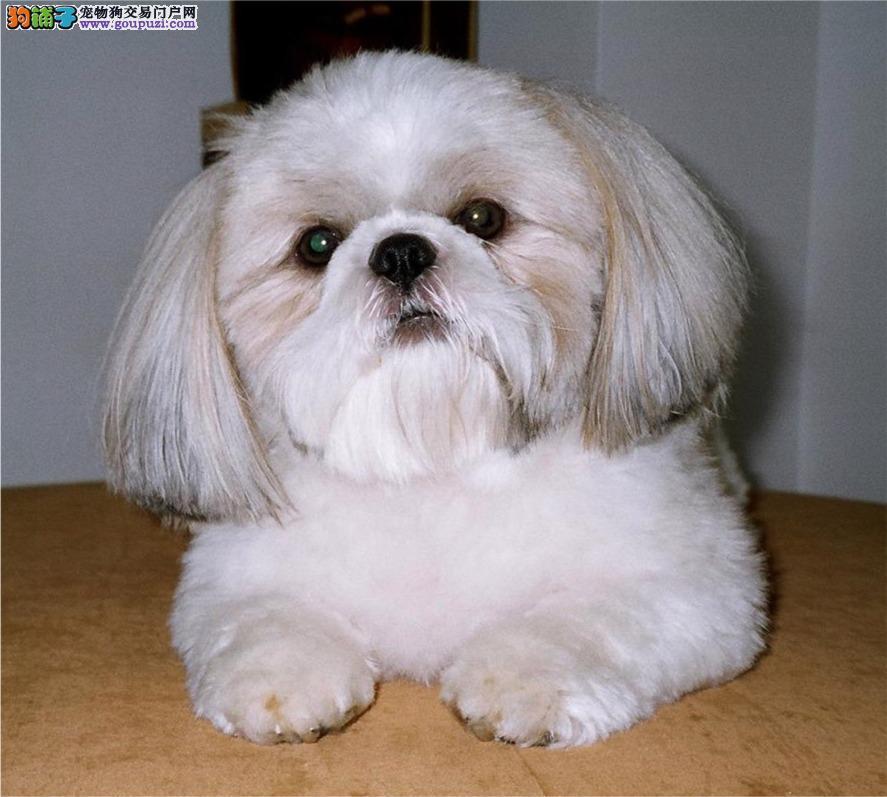 精品纯种西施犬出售质量三包优惠出售中狗贩子勿扰