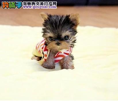 广州约克夏价格名犬总部广州那里有卖纯种约克夏价格