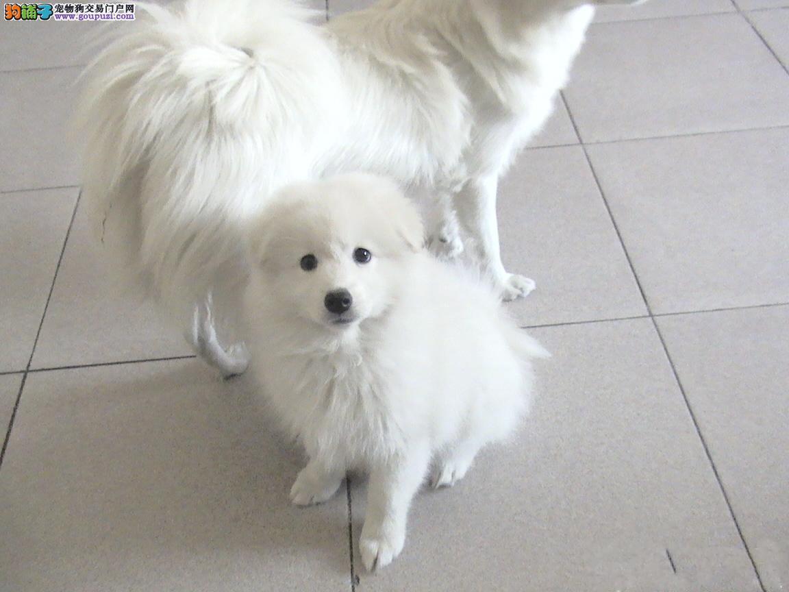 苏州基地出售纯血高品质银狐幼犬 价格优惠签署协议