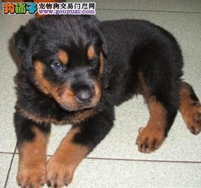 犬舍直销罗威纳幼犬,极品罗威纳幼犬(可货到付款)图片