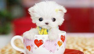 最小型茶杯狗袖珍,纯种高品质茶杯犬.上海茶杯犬多少钱