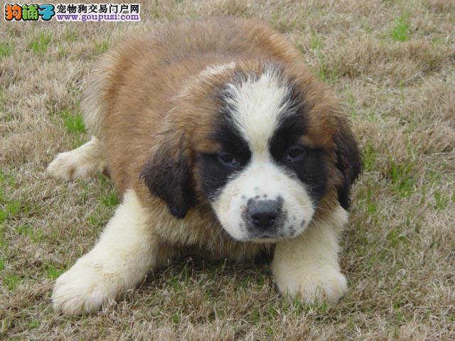 杭州圣伯纳 圣伯纳犬憨厚大型犬圣伯纳4