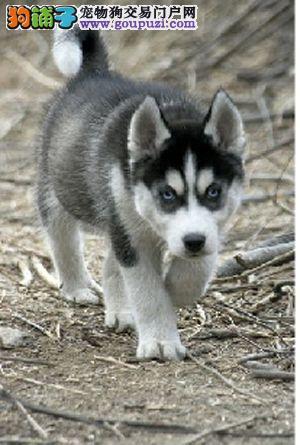 转让赛级双血统的济南哈士奇幼犬 欢迎大家上门选购犬