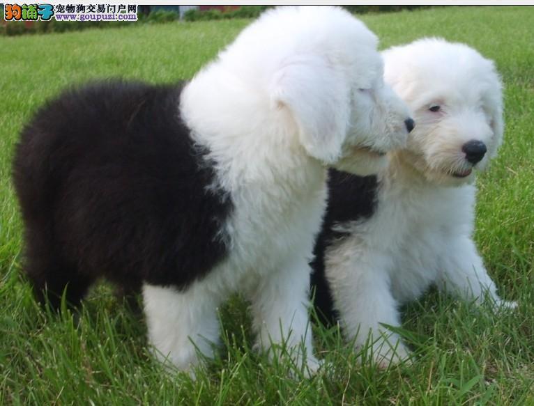 重庆哪里出售家养纯种古牧犬 白头通背蓝眼 体态完美