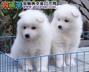 百色地区售微笑天使萨摩耶大头版双眼皮纯白小萨幼犬