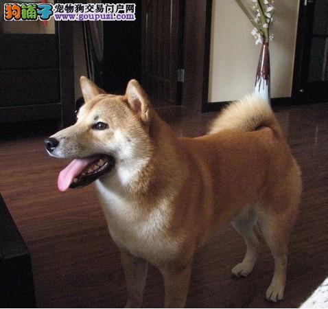 赛级日本柴犬 幼犬出售纯种双血统签协议秋田八公犬