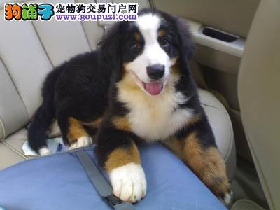 重庆纯种伯恩山幼犬高大威猛 小狗骨架很好