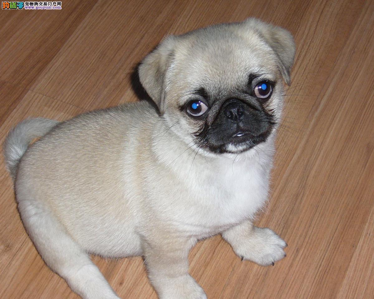 纯种巴哥犬幼崽、一宠一证视频挑选、可送货上门