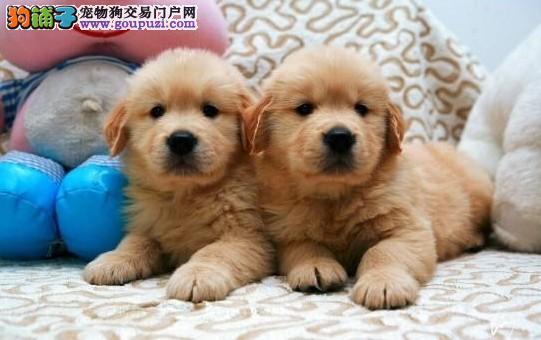 出售天水金毛专业缔造完美品质赠送全套宠物用品