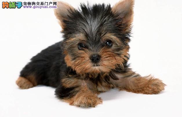 广州售顶级高品质约克夏幼犬公母都有 质量三包