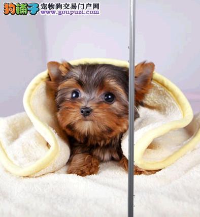 极品约克夏幼犬、金牌店铺品质第一、专业信誉服务
