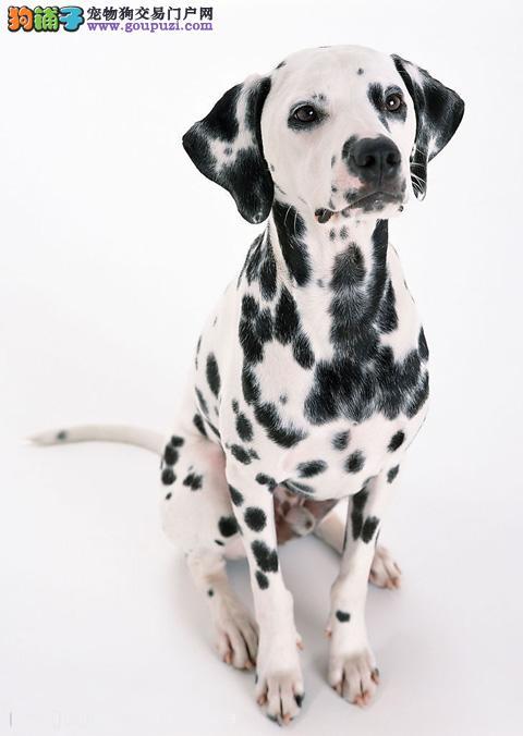专业繁殖纯种石家庄斑点狗疫苗齐全签协议上门选
