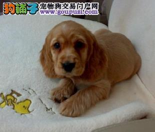 兰州出售赛级品相可卡犬幼犬 保健康包纯种签质保协议