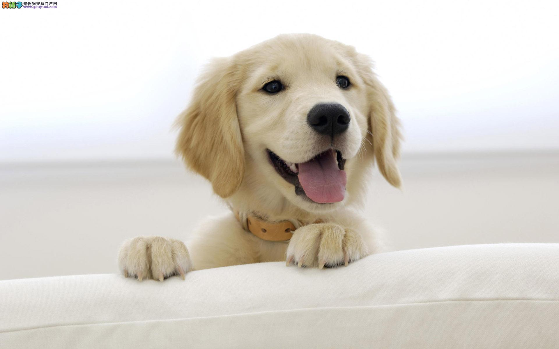 深圳出售纯种金毛猎犬聪明呆萌可爱 可签协议