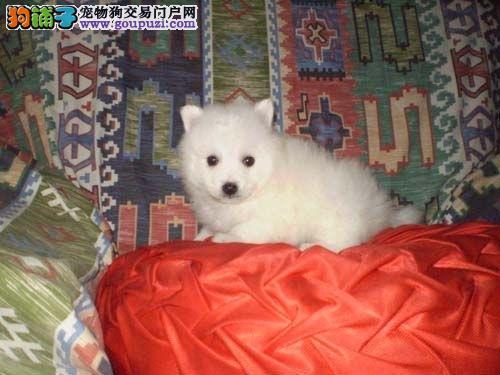 洛阳顶级雪白银狐幼犬价钱美丽日本尖嘴银狐宝宝三针齐