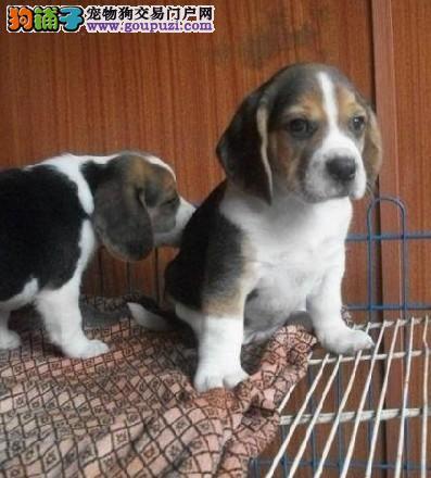 北京最大的比格犬繁殖基地、保障健康、保证纯度