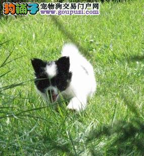 深圳哪里有卖蝴蝶犬 深圳蝴蝶犬价钱是多少
