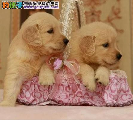 武汉繁殖大骨架宽嘴巴的纯种金毛犬可上门挑选可送货