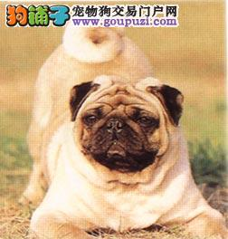 吐鲁番憨厚可爱的皱纹短腿小巴哥犬可上门可视频挑选