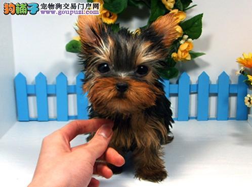 精品纯种约克夏幼犬出售 健康包三个月可签协议包养活