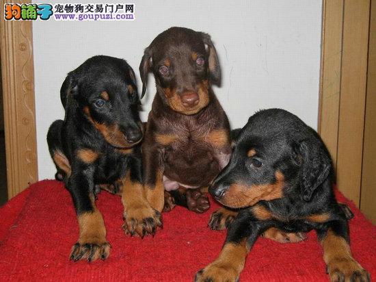 珠海哪里有卖黑色杜宾犬 红色杜宾犬4