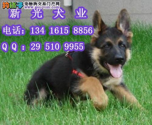 广州德国牧羊犬幼犬 德国牧羊犬俱乐部 长毛德国牧羊犬图片