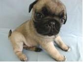 出售出售纯种小体巴哥幼犬. 现2个月4