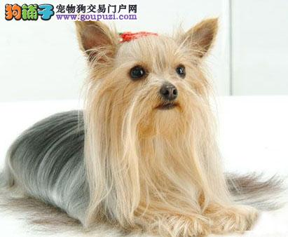 宁波超小体约克夏犬袖珍纯种约克夏狗  终身售后保障