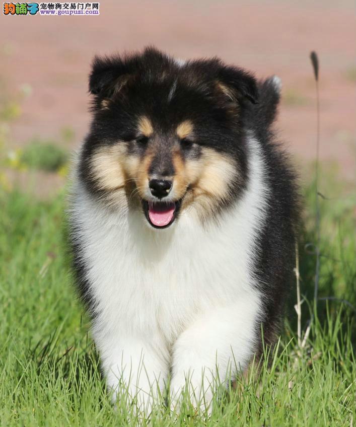 常年出售纯种苏牧幼犬养殖基地直销有证书售后签协议
