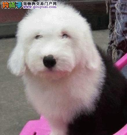 天津自家繁殖古代牧羊犬出售公母都有实物拍摄直接视频