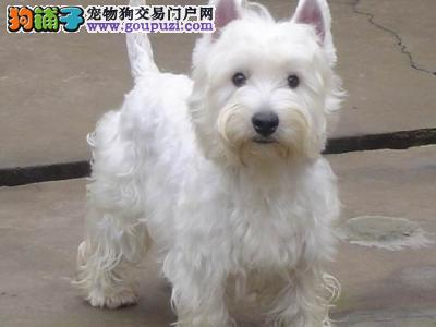 纯种西高地幼崽 完美品相 品质第一 提供养狗指导